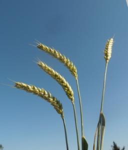 Getreide und Ätherkräfte